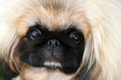 Cute Pekingese Talking and Barking http://www.youtube.com/watch?feature=player_detailpage=LkOtCqBr7hA=WLDC7C798C95016CD1
