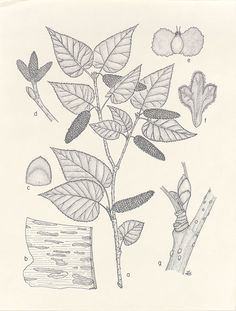 Betula_cordifolia, Resources for Botanical Sketchbooks, , Resources for Art Students at CAPI::: Create Art Portfolio Ideas milliande.com, Art School Portfolio Work, , Botanical, Flowers, Plants, Leaves,Stem Seed, Sketching, Herbarium