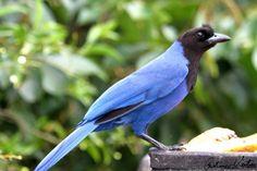Aves Catarinenses - Banco de dados e imagens de todas as aves de Santa Catarina - SC GRALHA AZUL