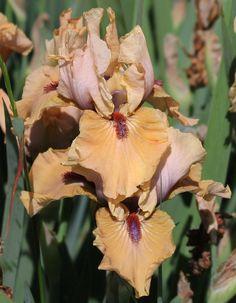 IB Iris germanica 'Endless Moments' (Blyth, 2005)