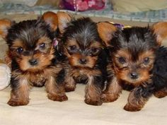 Cute little Yorkshire Terrier puppies