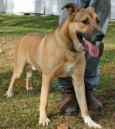 Hanson is a 1 to 2 year old male shepherd cross, about 60 pounds. He is a very friendly, happy boy and full of playful energy. He needs to find a home where he can be taught proper leash manners and how to interact with people more gently. He just...