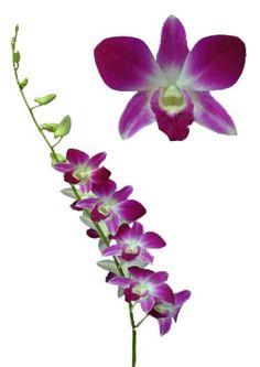 Орхидея Дендробиум RSN Red Sonia ( DENDROBIUM RSN )