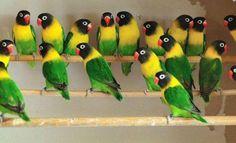 Black mask lovebirds in their natural color