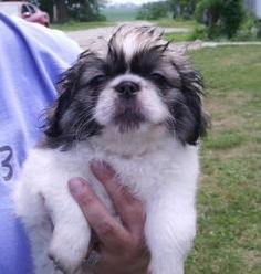 Crystal is an adoptable Pekingese Dog in Owatonna, MN. Crystal is a 3 pound, 8 week old Pekingese puppy, presently living in a foster home in Owatonna MN. She is happy, healthy and ready for her forev...