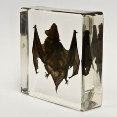 Real Bat in Acrylic Block - Small Skulls Unlimited International http://www.amazon.com/dp/B008TRGHAS/ref=cm_sw_r_pi_dp_aZm9ub08Q1G3H
