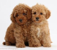 Two Cute Red Toy Poodle Puppies White Background Toy