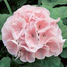 20pcs Rare Colors Available Geranium Seeds For Home Garden Perennial Flowers Pelargonium Bonsai Seed Free