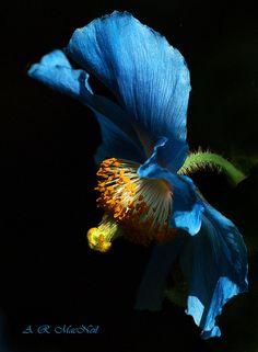 Van Dusen's Blue Poppy - Vancouver, British Columbia (Explored) | Flickr - Photo Sharing!