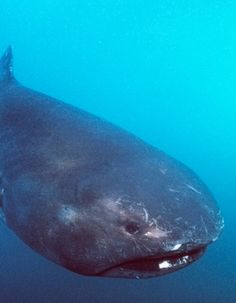 The sloth-like megamouth shark belongs to an order of sharks that includes the fastest sharks in the ocean: the shortfin mako and the salmon shark.