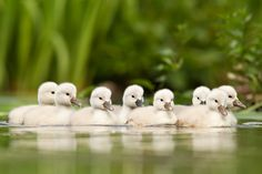 I never understood where this strange story about the ugly duckling came from. To me baby swans are so beautiful....
