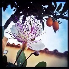 Fiore di cappero