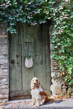 "Un Coeur en Provence - ""Pepsy, my cocker spaniel laying in front of the old weathered door in front of the house..."""