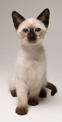 Latest Photos siamese cats cross eyed Popular Siamese kittens and cats would be better better known for their smooth, streamlined physiques, steamy jackets Siamese Kittens, Cute Cats And Kittens, Cool Cats, Kittens Cutest, Funny Kittens, Black Kittens, Tabby Cats, Bengal Cats, White Cats