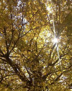 Bella bella la naturaleza :) . . . #treemaple #life #luz #sunsetlovers #autumn #naturelovers #nature #yellow #colors #CasasGrandes #Chihuahua #México #amazing por amanda_azueta en Instagram http://ift.tt/1kR1j2K #navitips