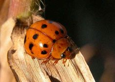 Three-banded Ladybird - Harmonia octomaculata.....Body length 8mm