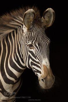 Portrait of a zebra by yeyacas #animals #animal #pet #pets #animales #animallovers #photooftheday #amazing #picoftheday