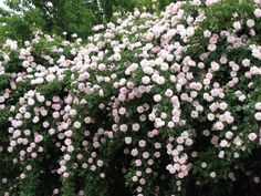 Cecile Brunner Rose | there are nine bushes in all, and the cover about 275 feet of chain ...