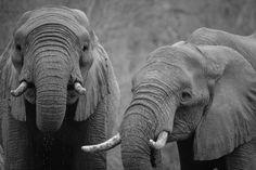 💚 African elephant Elephant Mammal - new photo at Avopix.com    ✅ https://avopix.com/photo/15816-african-elephant-elephant-mammal    #african elephant #elephant #mammal #proboscidean #tusker #avopix #free #photos #public #domain