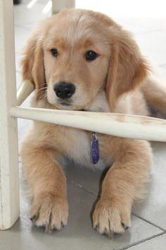 Golden Retriever puppy Oakley