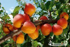 Посадка абрикоса – когда сажать, как посадить, какие существуют правила посадки абрикоса, а также подготовка ямы и уход за абрикосом…