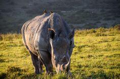 A Rhino shot on a safari in South Africa Hippopotamus, African Safari, South Africa, Horses, Animals, Animales, Animaux, Animal, Animais