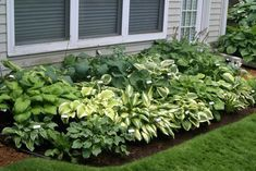 Hostas- northern-facing flower bed with strong morning sun, afternoon shade from house.