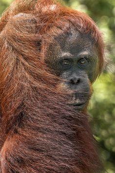 orangutan in Kalimantan, Indonesia
