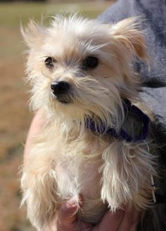 maltese yorkie mix rescue super cute black and tan maltese yorkie mix i want one 6686
