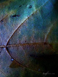 Iris leaf
