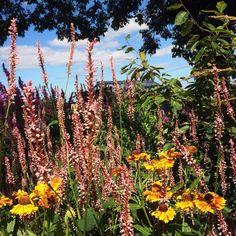 Persicaria and Helenium - from McQueGardens.com