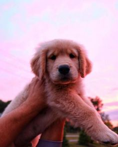 The Versatile Golden Retriever - Champion Dogs Cute Dogs And Puppies, I Love Dogs, Doggies, Puppies Puppies, Cute Baby Animals, Animals And Pets, Perros Golden Retriever, Baby Golden Retrievers, Golden Retriever Quotes