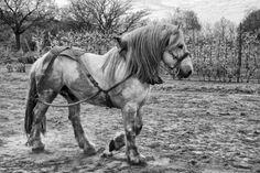 'Belgian+Heavy+Horse'+by+Jo+Beerens+on+artflakes.com+as+poster+or+art+print+$20.79