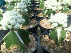 Kaktus Mini Brokoly