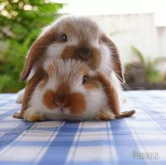 15 Panda Facts (Funny & Real) Like Rabbit, Like Panda Cute Both of Them. Some breeds of bunneh are stackable, Cute Baby Bunnies, Funny Bunnies, Cute Babies, Funny Pets, Bunny Bunny, Bunny Rabbits, Cute Little Animals, Cute Funny Animals, Cute Pets