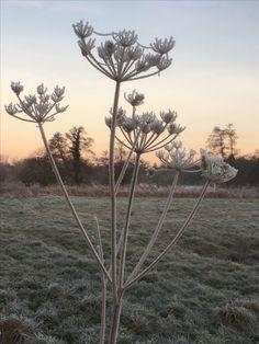 Frosty hogweed Jan 3