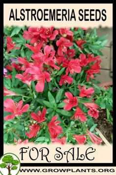 Alstroemeria seeds for sale - Grow plants - Gardening all need to know before buy this plant Tips, amount of water, sun exposure, planting season, blooming season, hardiness zone, height of the plants, if it's grow as houseplant and much more #gardening, #plants Easy Plants To Grow, Growing Plants, Planting, Gardening, Peruvian Lilies, Seeds For Sale, Plant Sale, Houseplant, Cut Flowers