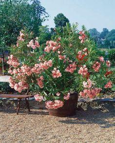 LAURIER ROSE PROVENCE le plant
