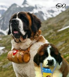 Can't wait to grow up Big Dogs, Cute Dogs, Dogs And Puppies, Doggies, Dog Pictures, Funny Pictures, Le Terrier, St Bernard Puppy, Dog Muzzle