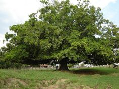 Mangueira centenária - Goiás - BRASIL