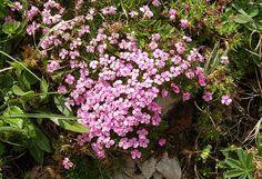 https://flic.kr/p/7acinh   Moss campion, Aretes du Gerbier, Vercors escarpment   Silene acaulis