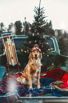 Dogs And Puppies Golden Retriever Doggies Ideas Cozy Christmas, Christmas Photos, Christmas Time, Funny Christmas, Christmas Puppy, Christmas Animals, Christmas Card Photo Ideas With Dog, Holiday Pictures, Country Christmas