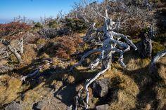 한라산의 나무