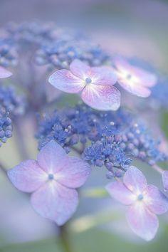 violetas azuis, simples e natural