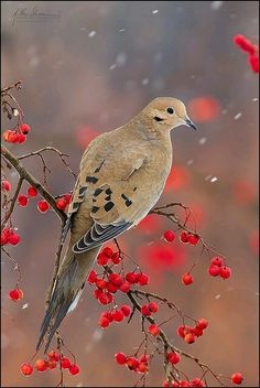Mourning Dove, one of most abundant & widespread of all North American birds
