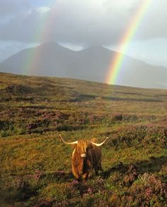 I swear I've seen that rainbow.  It was the middle of January and there was no highland cow, but still beautiful!