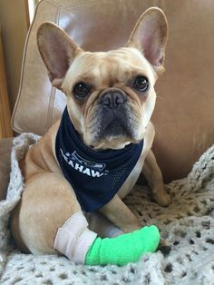 what?! A French bulldog wearing seahawks gear?! This dog should absolutely be mine!