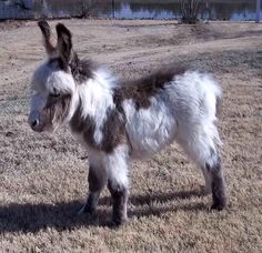 I would love to have a mini donkey!