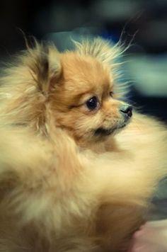 Watchful Pomeranian