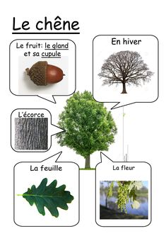 Fiche chêne Primary Science, Science For Kids, Science And Nature, Theme Nature, Tree Study, French Classroom, Fall Preschool, Plant Science, Nature Study